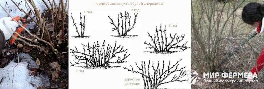 Схема обрезки смородины весной