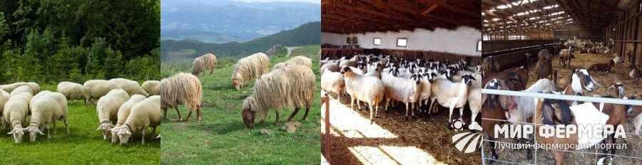 Содержание овец на пастбище и в стойле