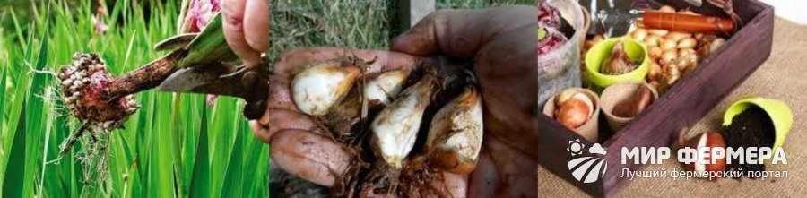 Хранение луковиц тигридии