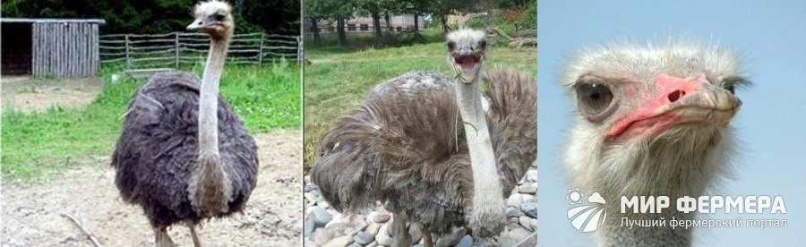 Дерматологические болезни страусов