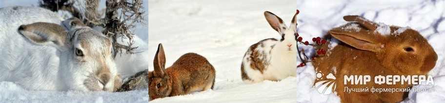 Как содержать кроликов зимой