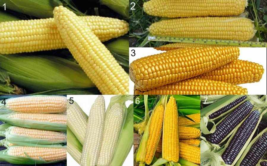 Сорта сахарной кукурузы