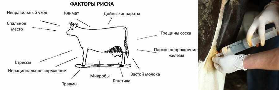 Мастит у коровы