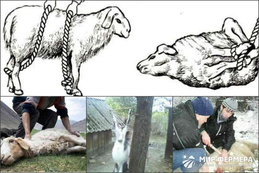 Как проводят забой овец