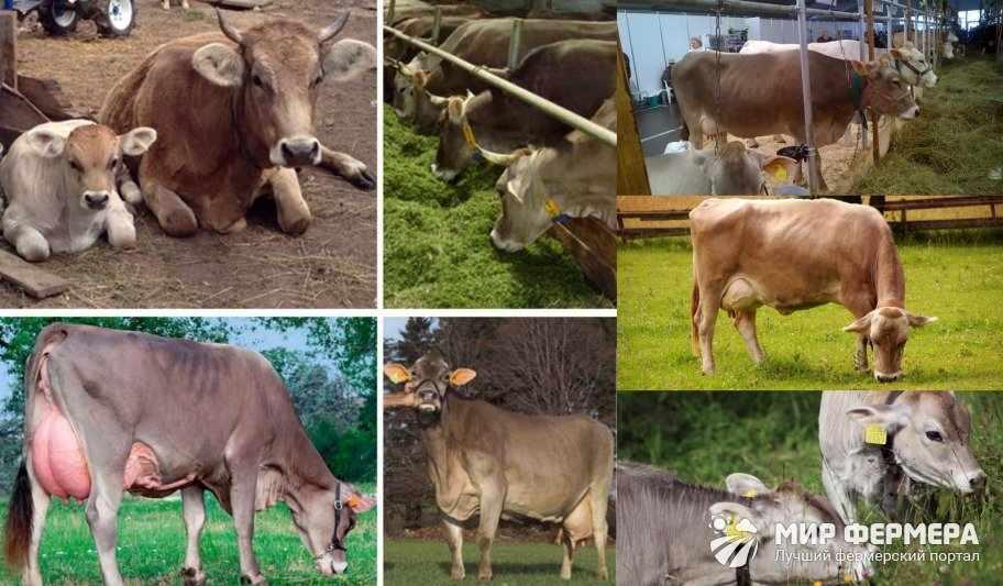 Чем кормить швицких коров