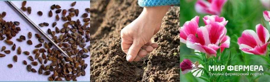 Выращивание кларкии из семян