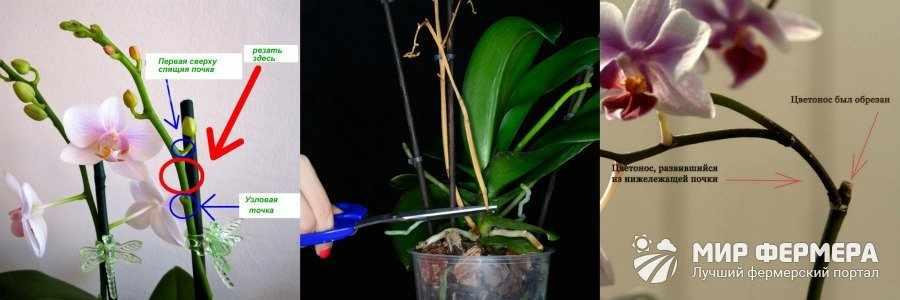 Орхидея Фаленопсис обрезка