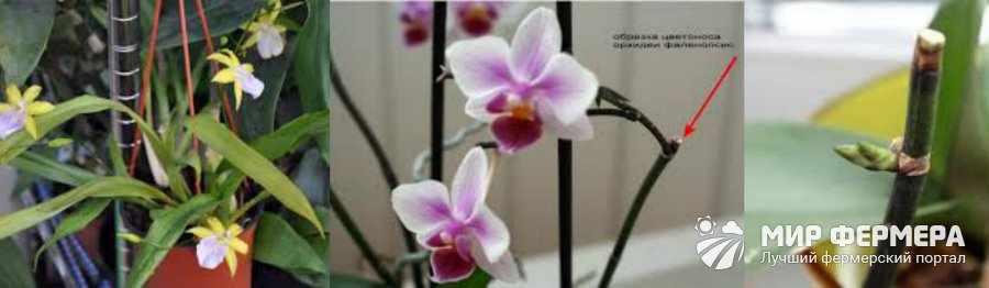 Мильтония уход после цветения