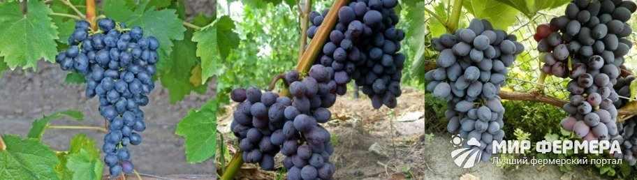 Виноград Юпитер плюсы и минусы