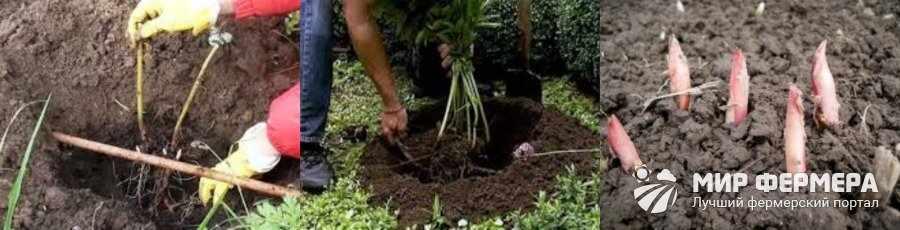 Как посадить пионы