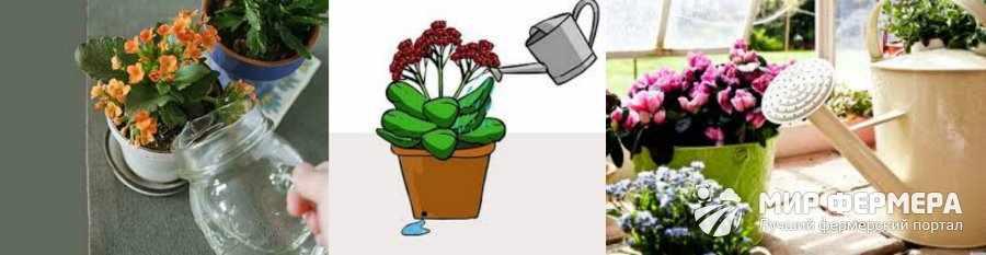 Как поливать каланхоэ