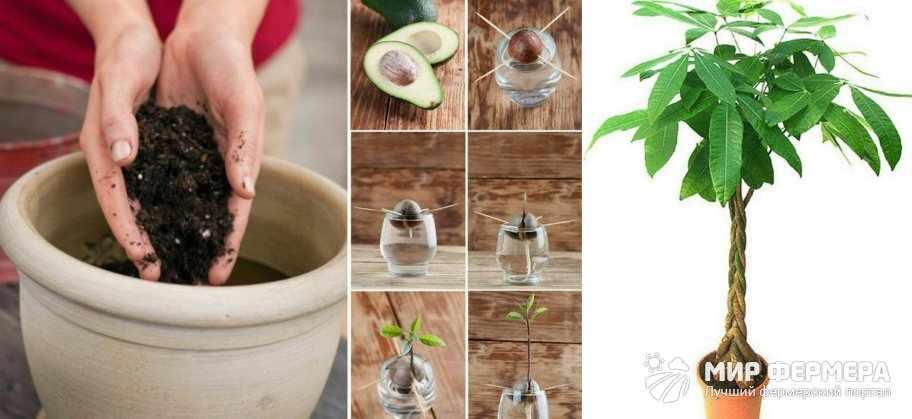 Выращивание авокадо дома
