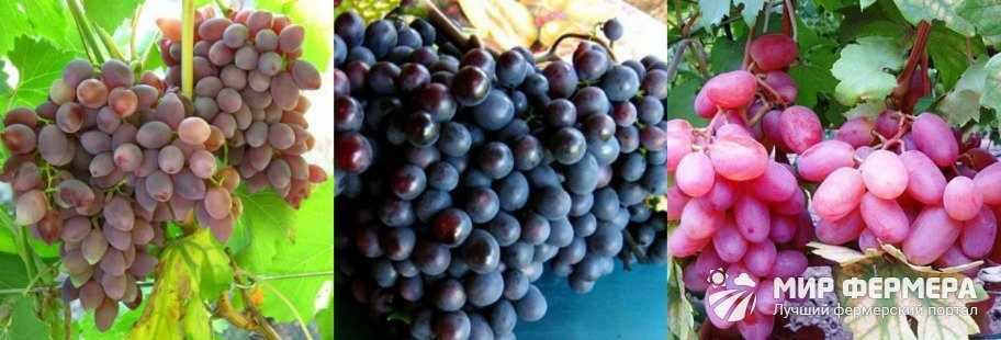 Кинельский виноград фото
