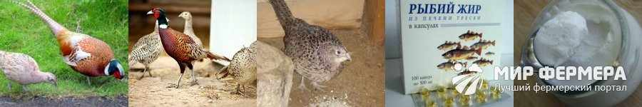 Что едят фазаны