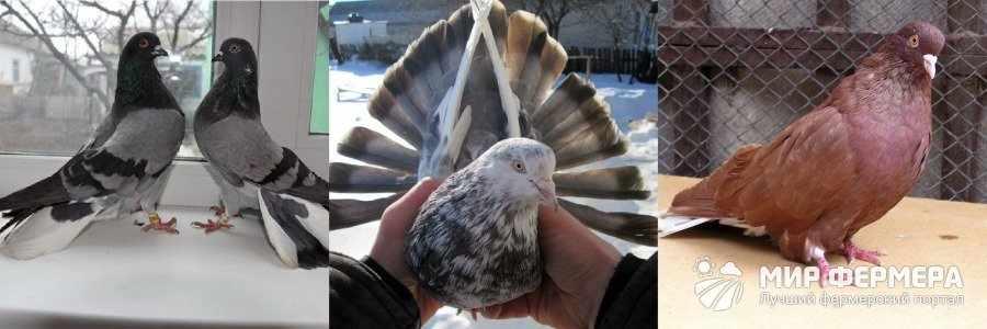 Николаевский голубь фото