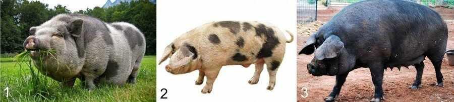 Мясосальные породы свиней