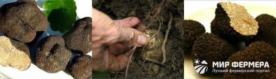 Как выглядят грибы трюфели