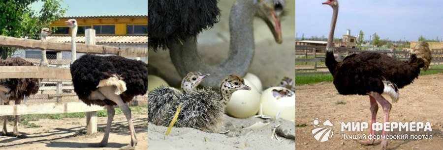 Содержание африканских страусов