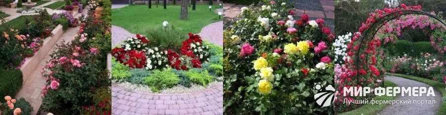 Где посадить розу на участке