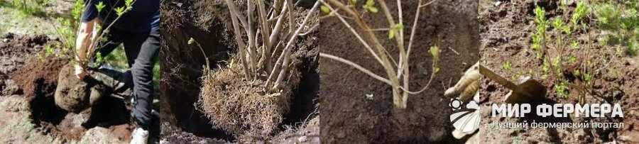 Как посадить сирень осенью