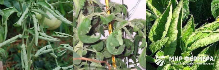 Скручивание листьев томатов