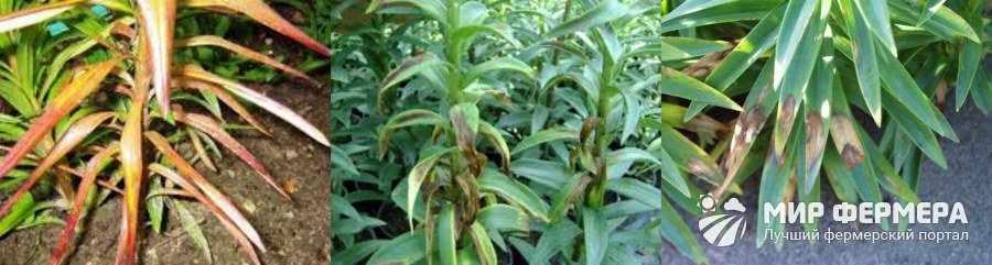 Болезни лилий и их симптомы