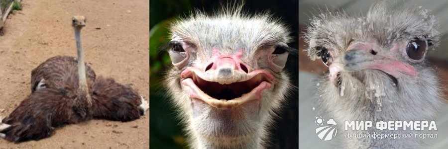 Чем болеют страусы