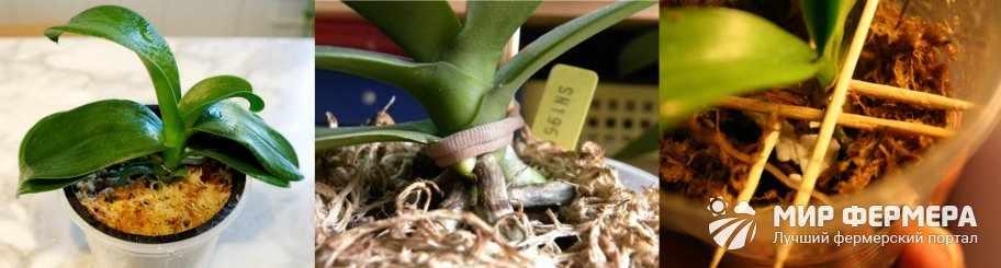 Как ухаживать за вялой орхидеей