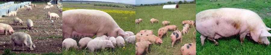Зеленый корм для свиноматок