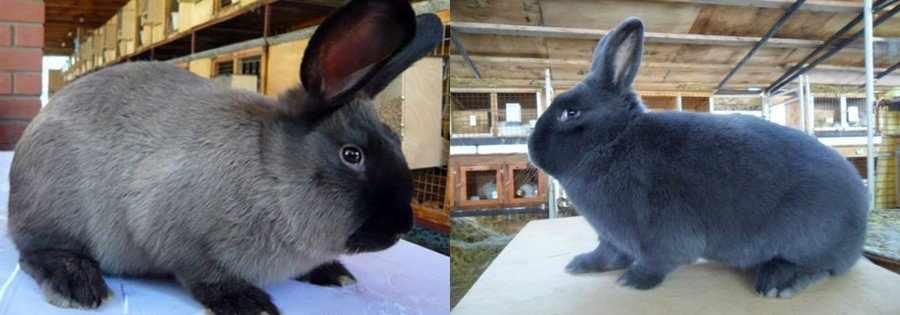 Выбор кролика на племя