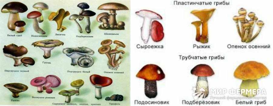 Виды съедобных грибов