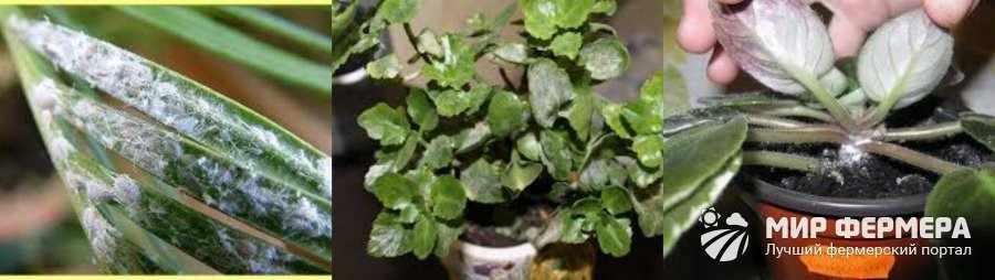 Мучнистая роса комнатных растений