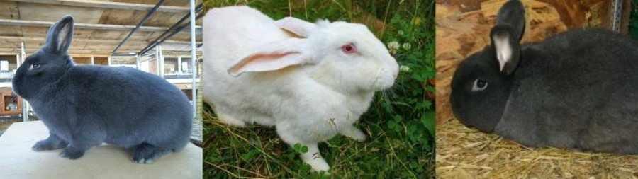 Типы телосложения кроликов