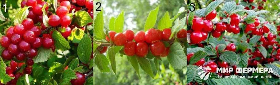Ранние сорта войлочной вишни