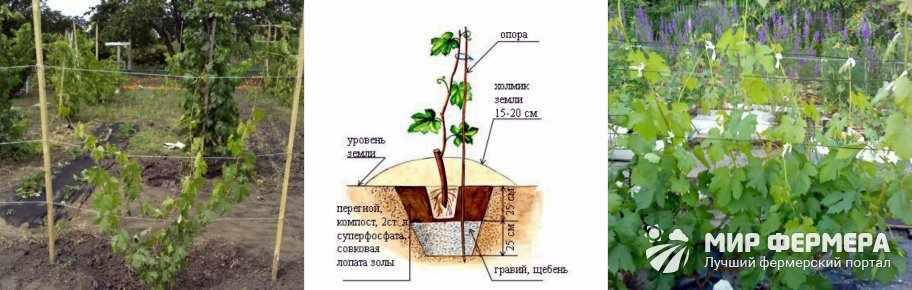 Как посадить виноград Ландыш