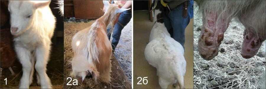 Рахит у коз