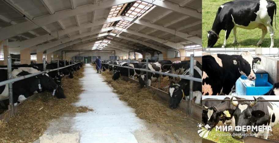 Кормление черно-пестрых коров