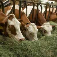 Как кормить корову