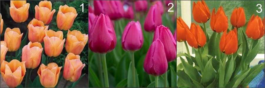 Тюльпаны для выгонки к Новому году