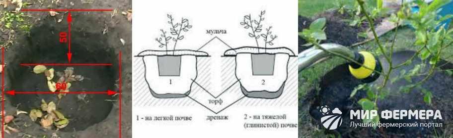 Как посадить саженец голубики