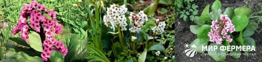 Цветок бадан описание и фото