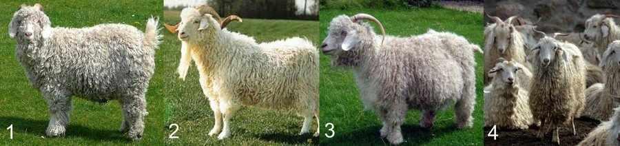 Шерстные породы коз