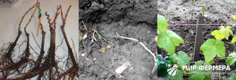 Размножение винограда Кодрянка