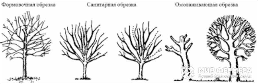 Типы обрезки яблонь