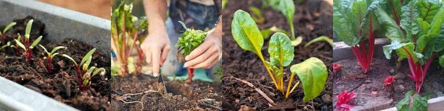 Как вырастить мангольд в теплице