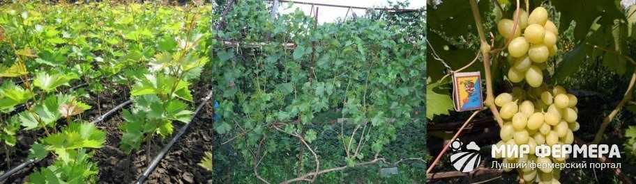 Как удобрять молодой и старый виноград