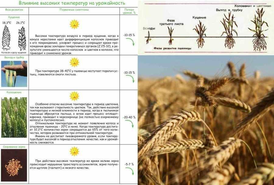 Выращивание пшеницы