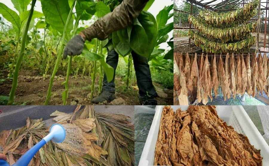 Сушка и ферментация табака
