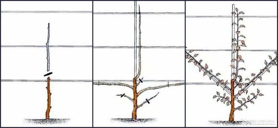 Крона пальметта схема обрезки