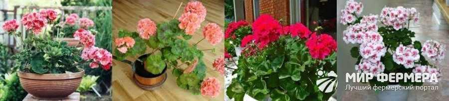 Герань выращивание и уход